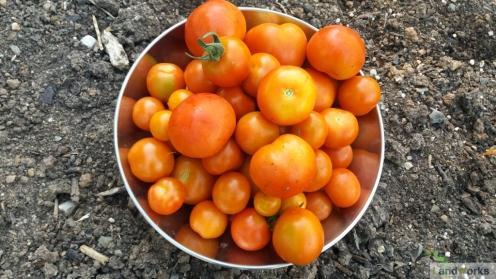 LandWorks Tomatoes