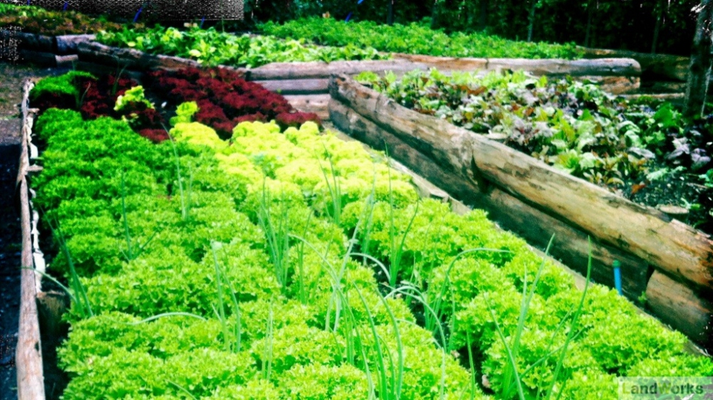 LandWorks Charity Devon: Raised Veg Beds Growing Salad
